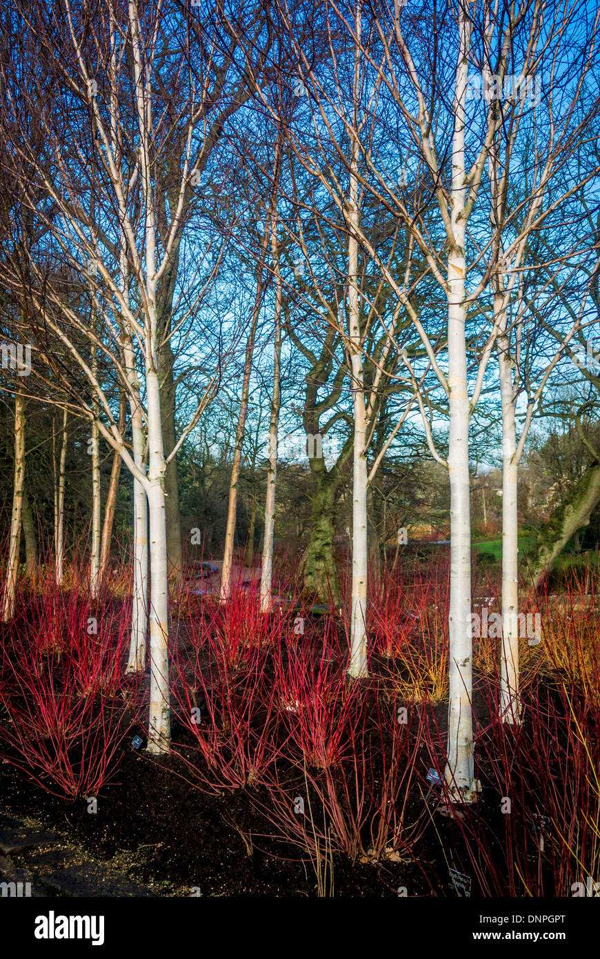 Young silver birch trees in winter with bright white for Silver birch trees for small gardens