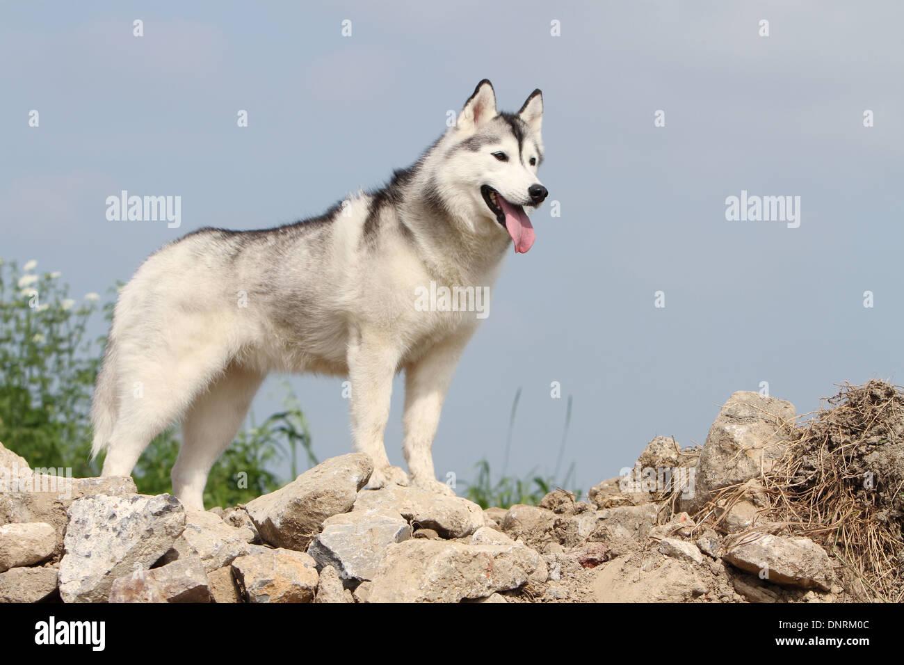 dog siberian husky adult standing on rocks stock photo