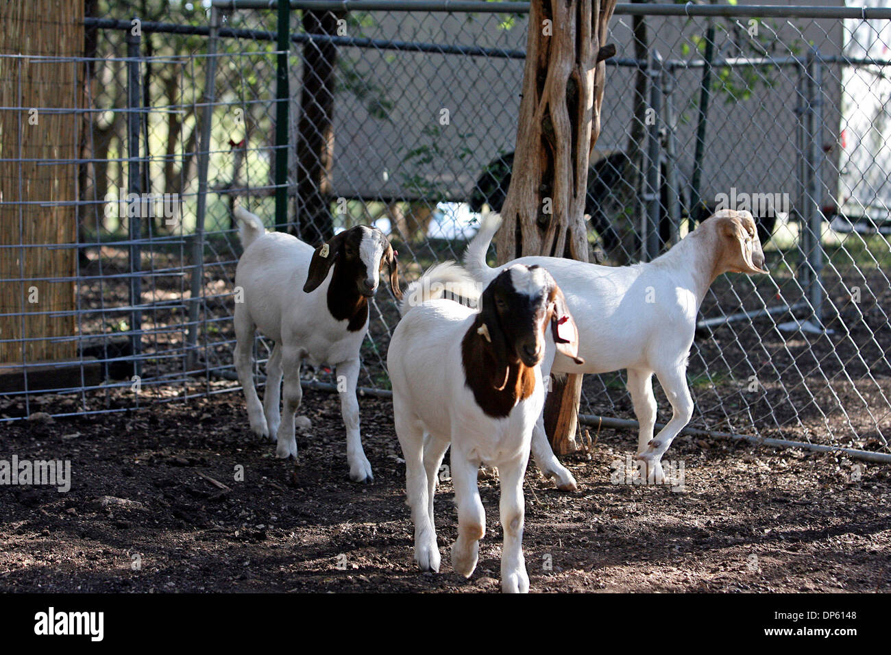 Oct 03, 2006; Bulverde, TX, USA; Goats In The Backyard Of The Haeckers In  Bulverde Are Penned In A Fence Enclosure Detectable By The Neighborsu0027 Dogs.