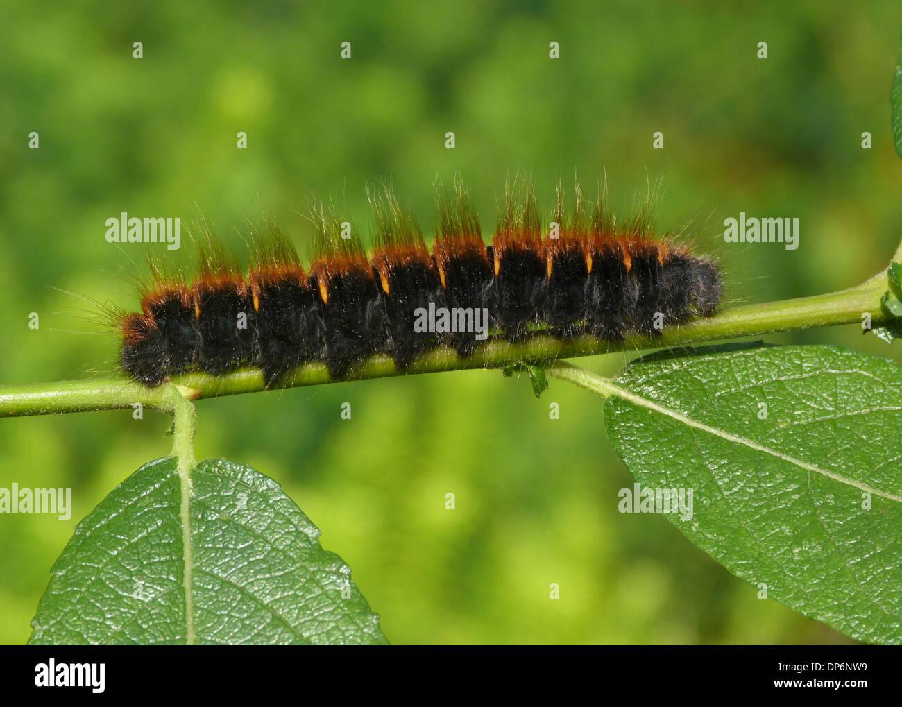 fox moth macrothylacia rubi caterpillar on goat willow salix