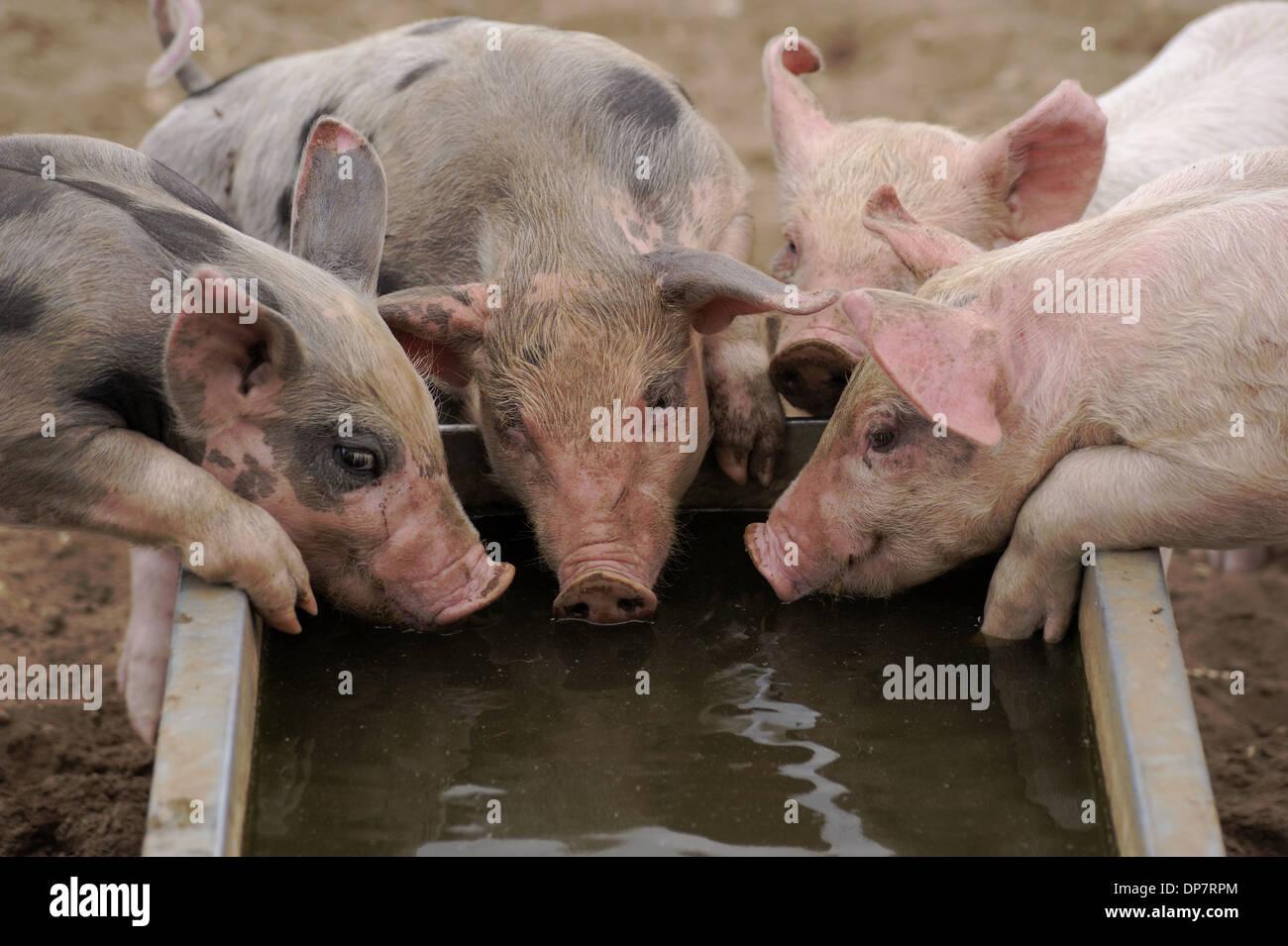 Domestic Pig Pietrain Crossbreed Four Piglets Drinking
