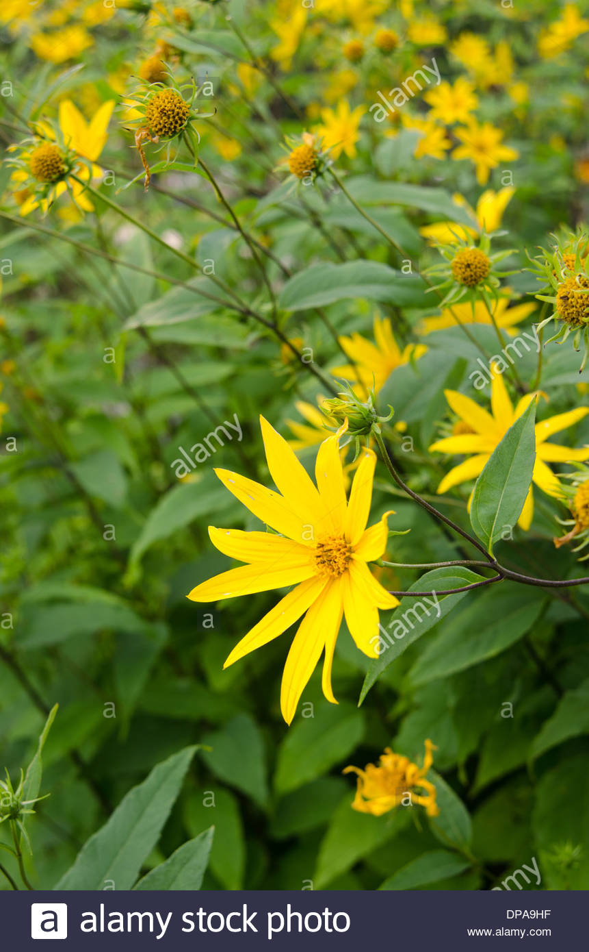 close up of wild yellow daisy like flowers growing in large plot
