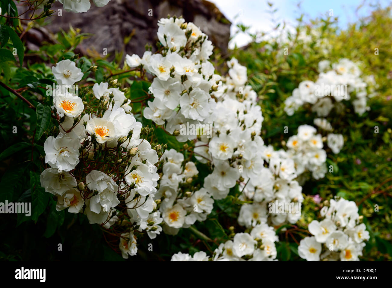 rosa bobbie james white rambler rambling climbers climbing flowering Stock Ph