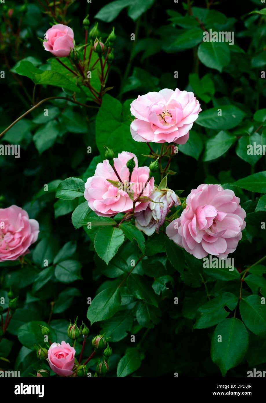 stock photo rosa bonica meidomonac shrub rose pink flowers flowering fragrant roses scented blooms - Fragrant Roses