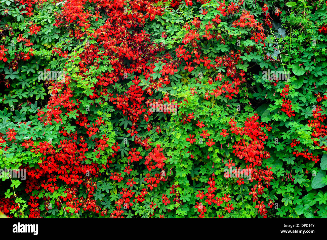 Red Tropaeolum speciosum climbing plant climber creeper growing Stock