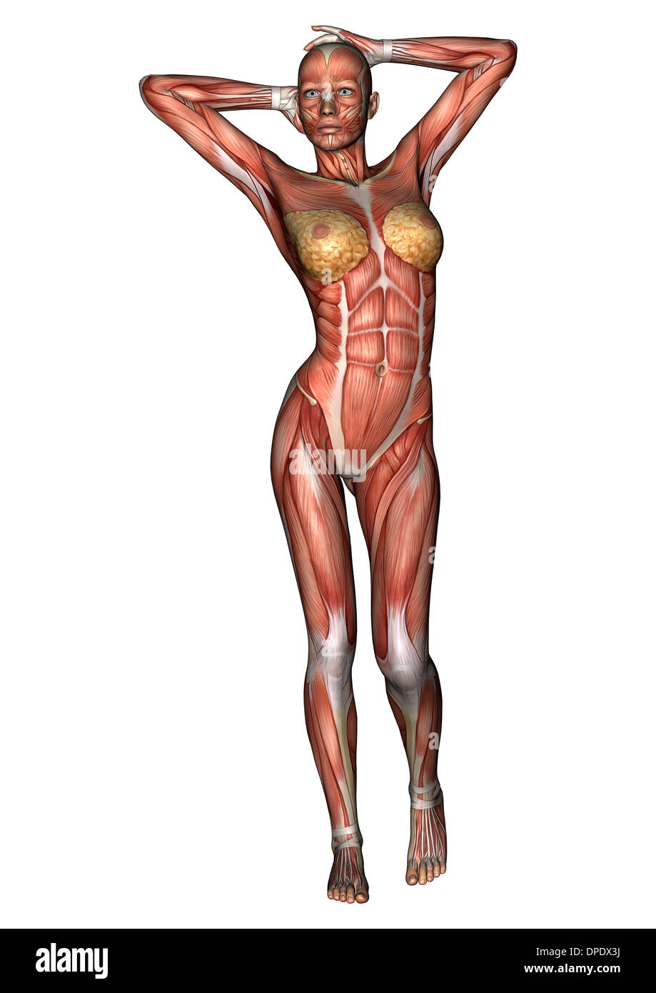 3d digital render of a female anatomy figure with muscles map, Muscles