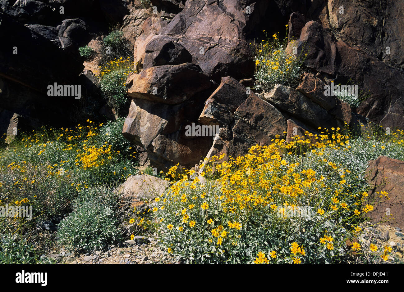 Elk248 1778 california death valley national park spring display elk248 1778 california death valley national park spring display of flowers brittle bush mightylinksfo