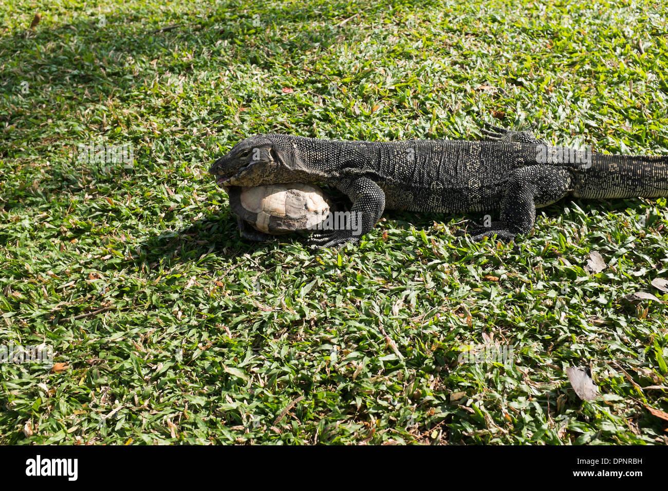 Lizard eating Tortoise in Lumpini Park Bangkok Stock Photo, Royalty Free Imag...