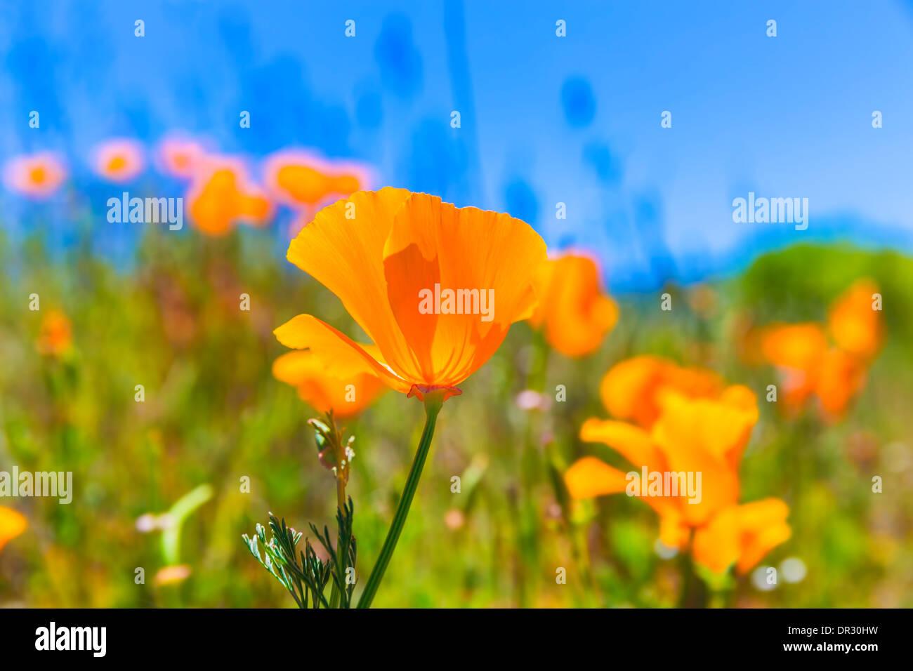 Poppies poppy flowers in orange at california spring fields usa poppies poppy flowers in orange at california spring fields usa mightylinksfo
