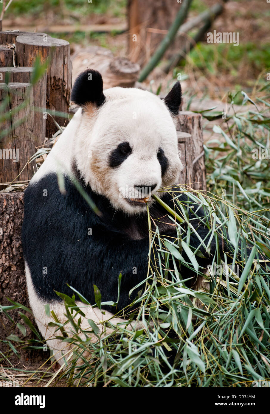 Panda House giant panda in panda house of beijing zoo, located in xicheng