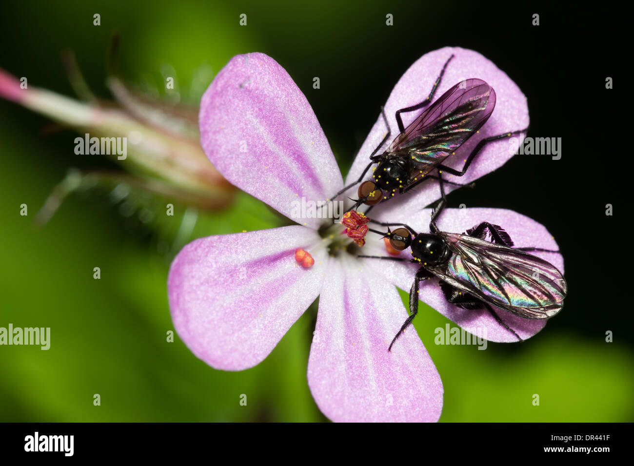 male-and-female-dance-flies-empis-pennip