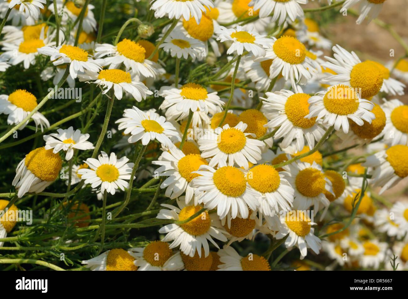 Chamomile chamaemelum nobile group of white daisy like flowers chamomile chamaemelum nobile group of white daisy like flowers izmirmasajfo Images