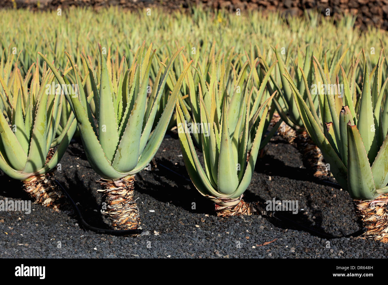 aloe vera plantation at orzola near haria lanzarote canary stock photo royalty free image. Black Bedroom Furniture Sets. Home Design Ideas