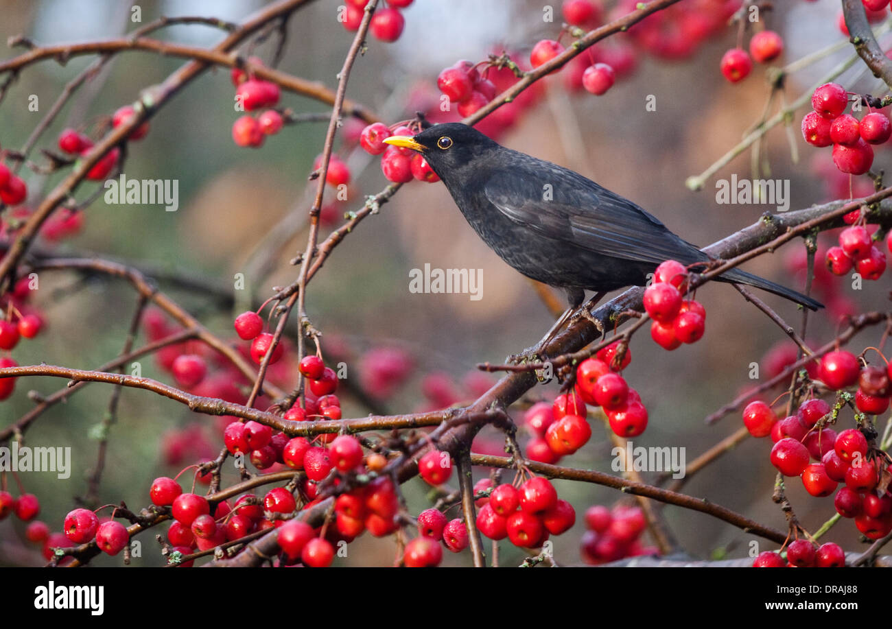 blackbird turdus merula surrounded by red berries of. Black Bedroom Furniture Sets. Home Design Ideas