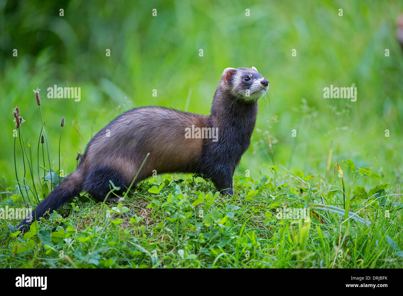 european polecat fell iltis marder mustela putorius raubtier stockfoto lizenzfreies bild. Black Bedroom Furniture Sets. Home Design Ideas