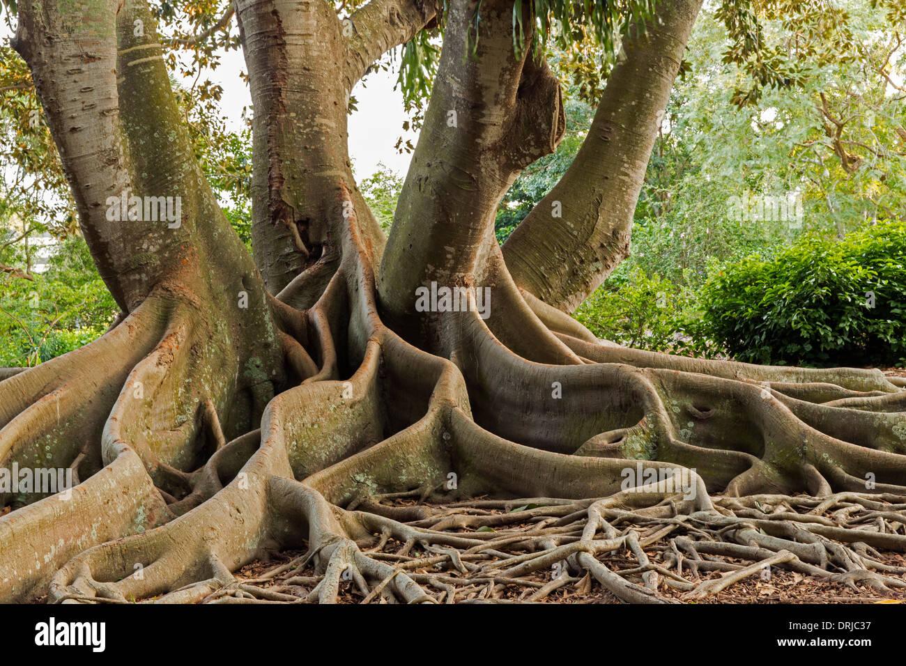 Beau USA,Florida,Sarasota, Marie Selby Botanical Gardens. Moreton Bay Fig Tree