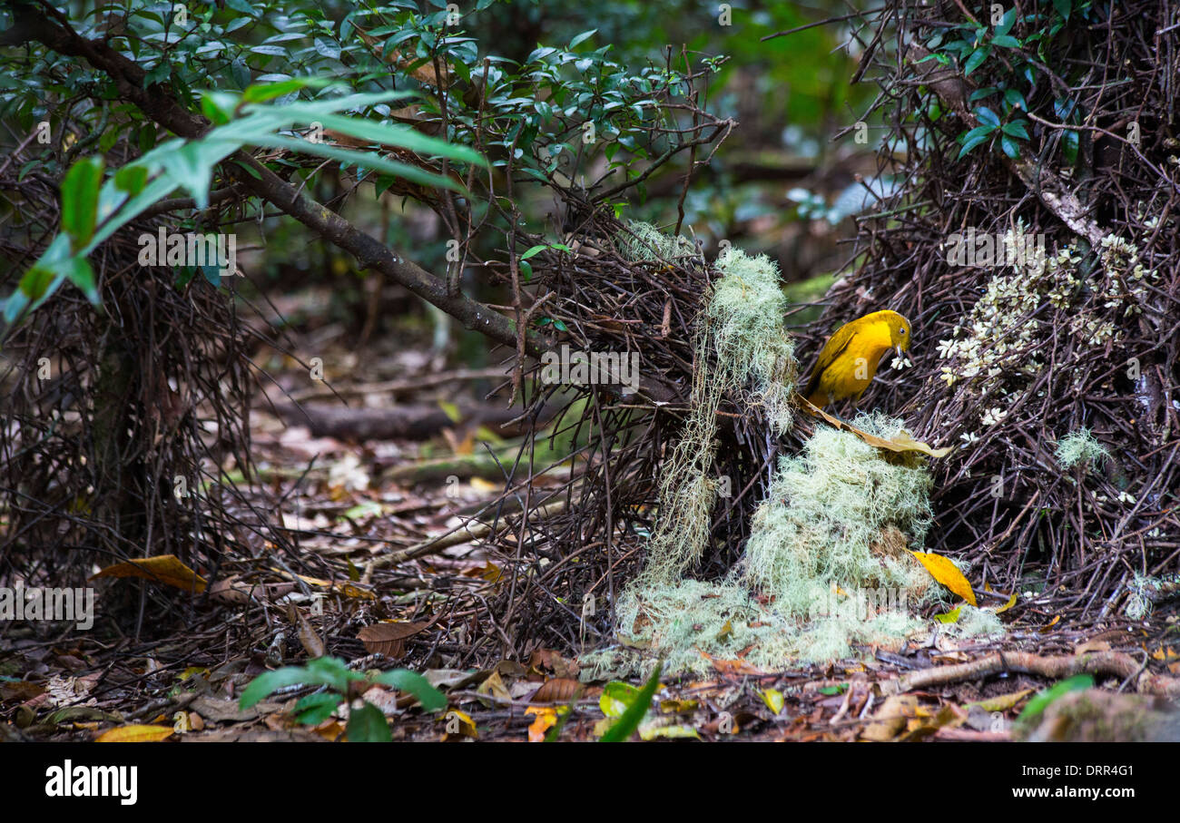 male-golden-bowerbird-prionodura-newtoni