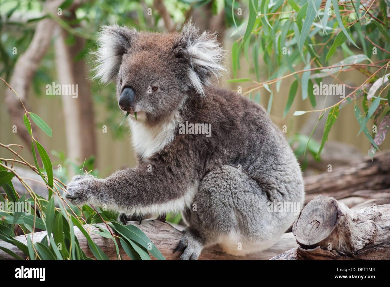 native australian koala bear eating eucalyptus leaves stock photo