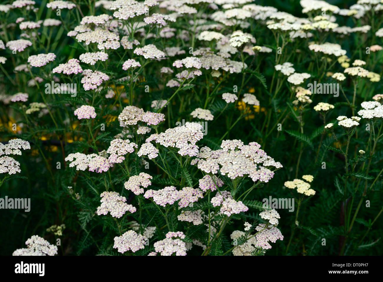 achillea millefolium colorado wild yarrow yarrows perennials white, Natural flower