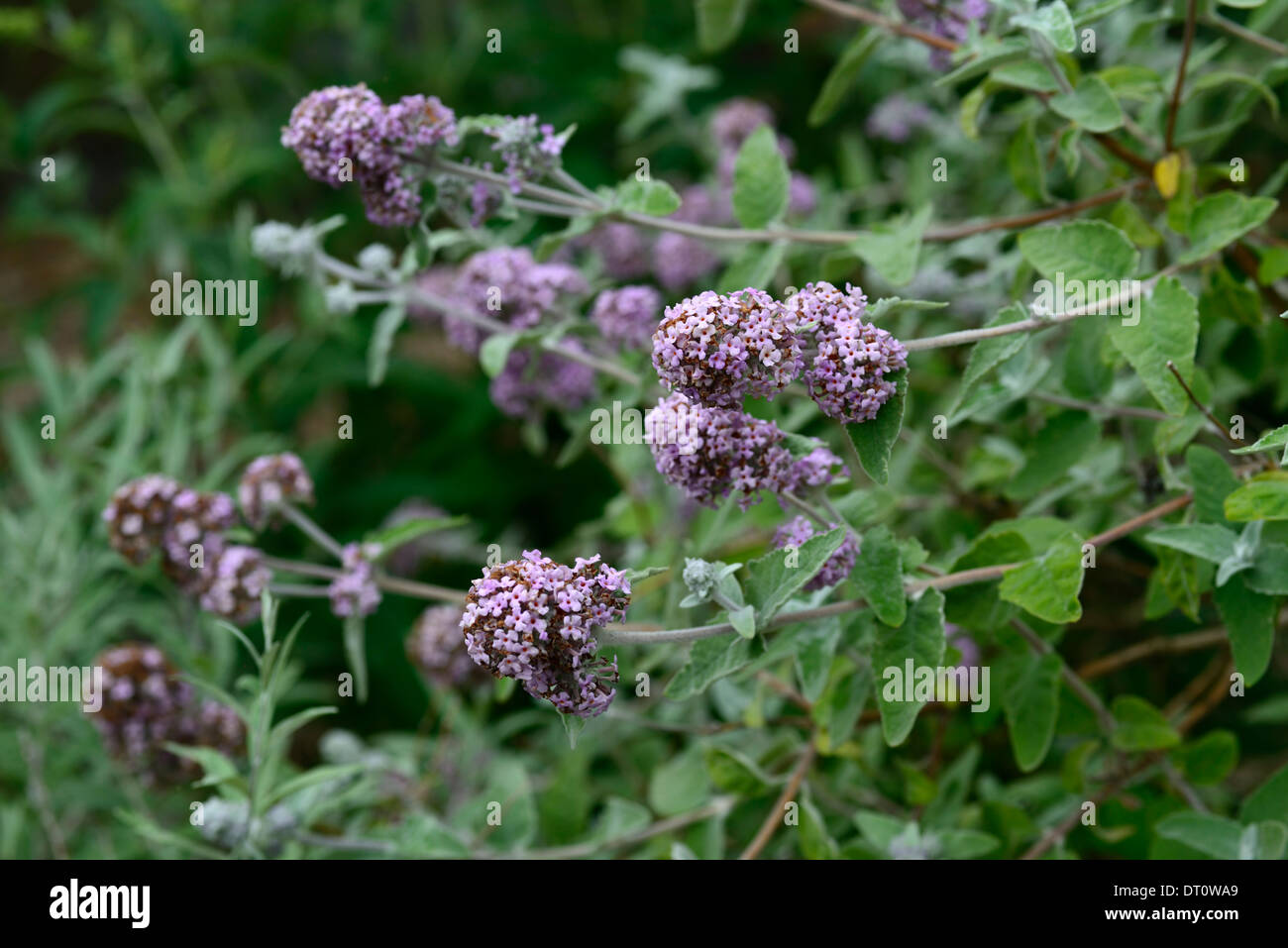 Shrubs with purple flowers pictures - Stock Photo Buddleja Crispa Hybrid Plant Portraits Purple Flowers Spires Deciduous Shrubs Summer Selective Focus Buddleja Himalayan