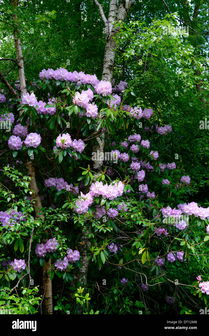Shrubs with purple flowers at end of branch - Rhododendron Mauve Purple Flowers Flower Flowering Tree Shrub Ericaceous Plant White Trunk Bark Birch Tree Mix