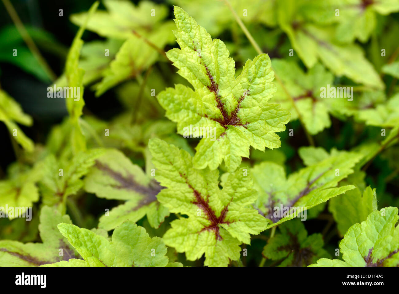 How to plant ground cover for shady areas - Stock Photo Tiarella Braveheart Foliage Leaves Ground Cover Shade Shady Shaded Wood Woodland Garden Plant Flower Foamflower Perennial
