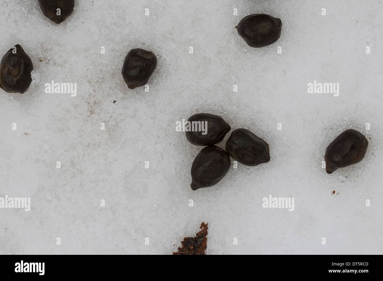 fallow deer daim droppings in winter snow losung vom damwild kot stock photo 66510989 alamy. Black Bedroom Furniture Sets. Home Design Ideas
