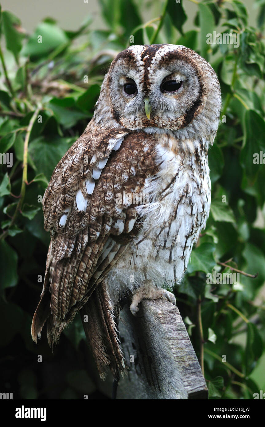 one owl in a tree uk stock photo royalty free image