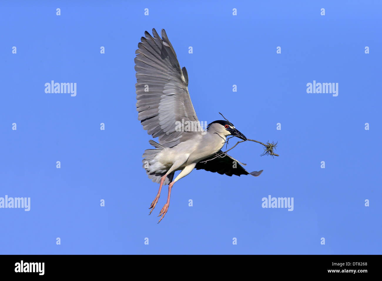 Night heron in flight - photo#46