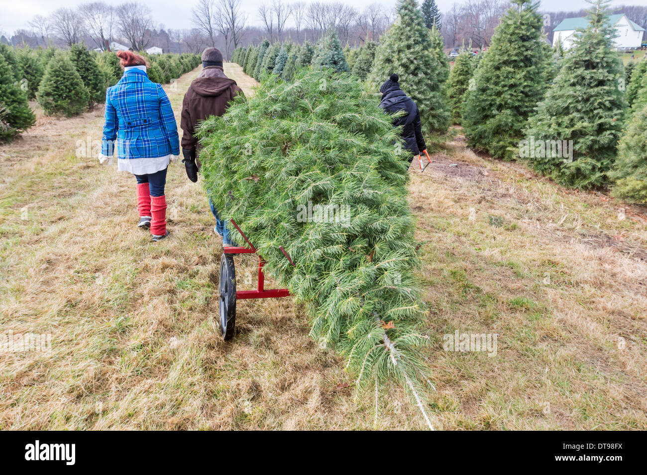 A Christmas Tree Being Pulled By People Who Cut Down A Christmas  - Christmas Trees To Cut Down