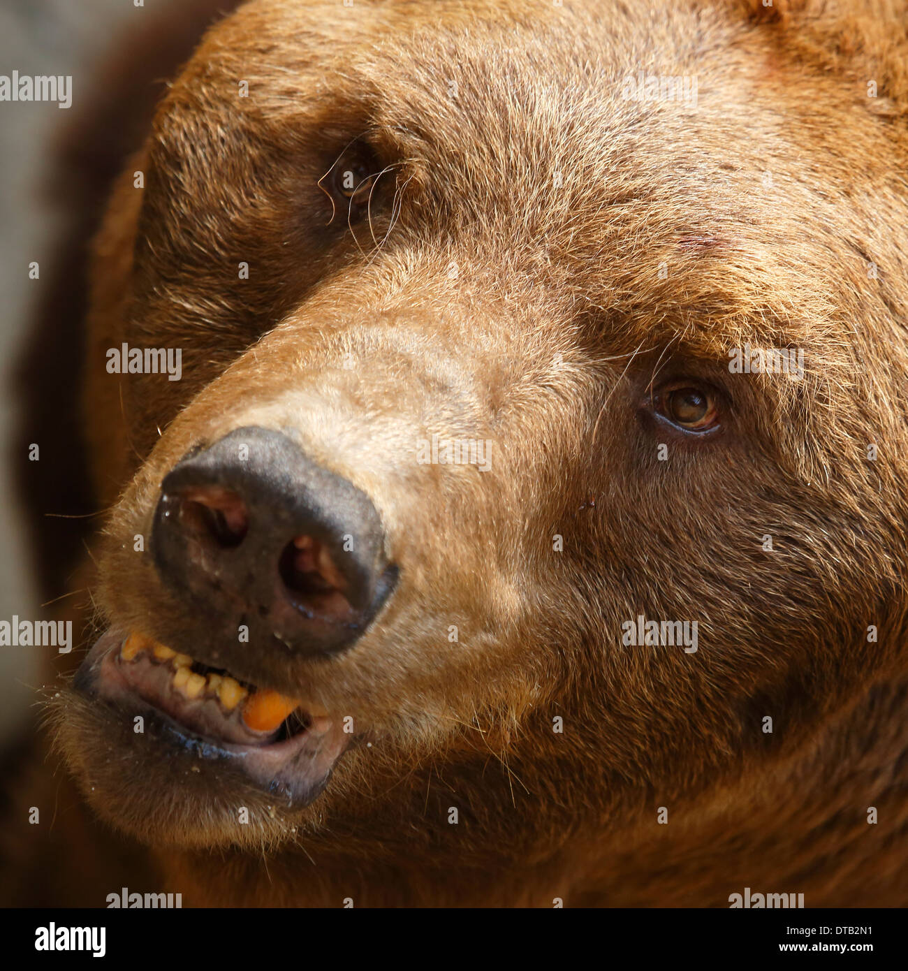 Closeup view of a scary bear face Stock Photo, Royalty Free Image ...