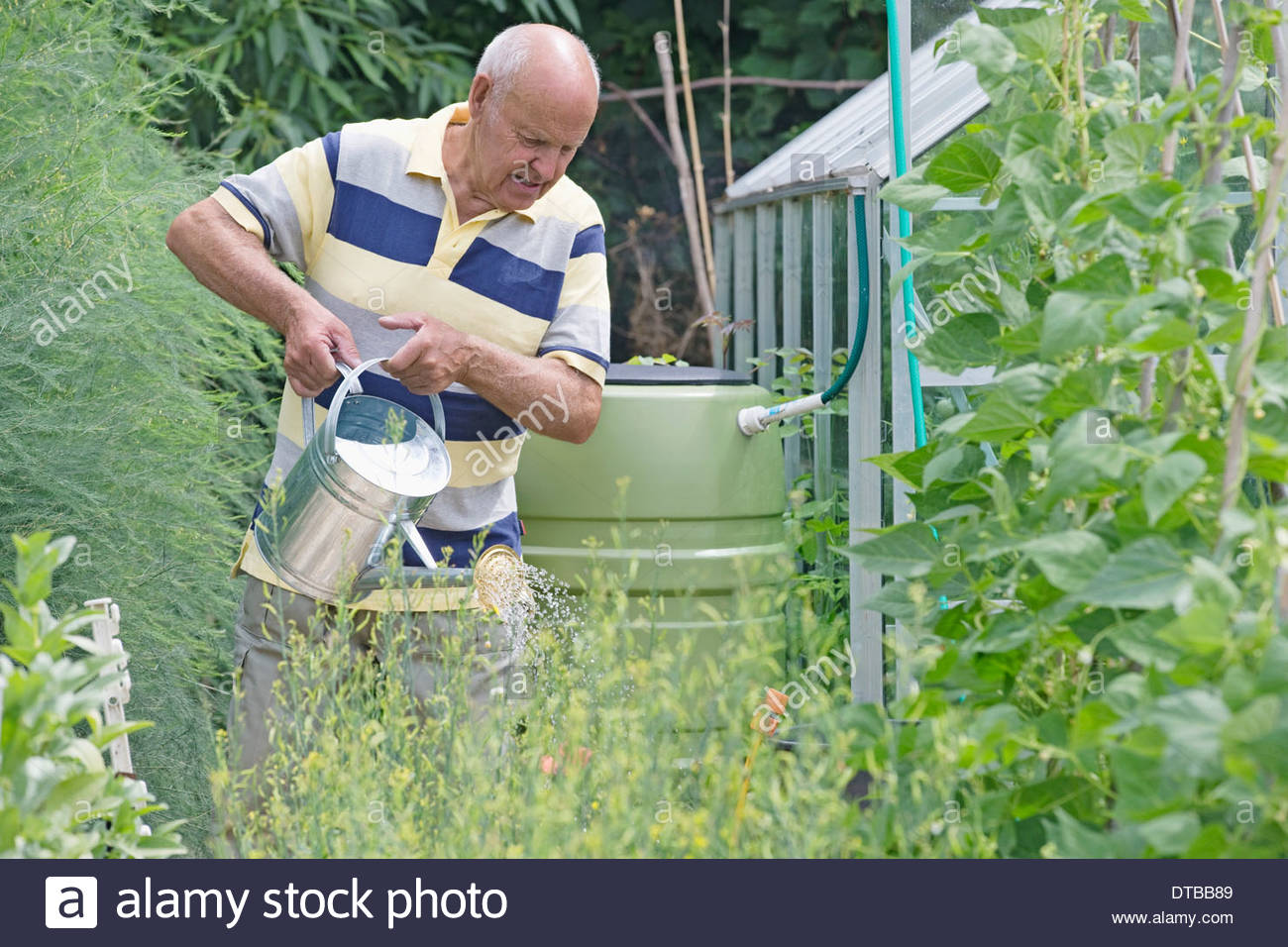 Senior Man Watering Vegetable Garden From Rain Barrel