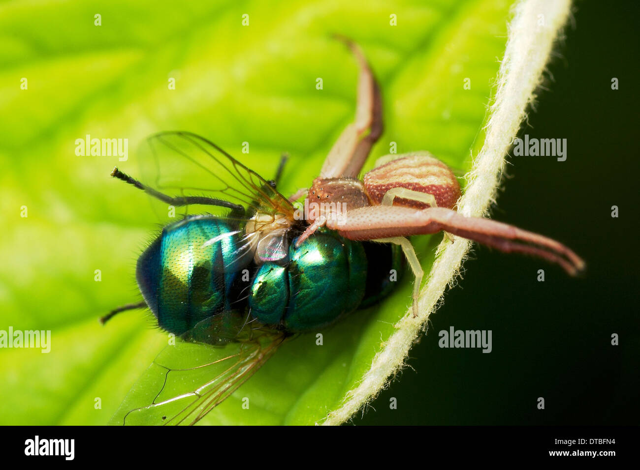 Crab spider preying bumble bee garden spiders spiders flower spiders - Thomisidae Crab Spider Crab Spider Devouring A Fly As Prey The Prey Of
