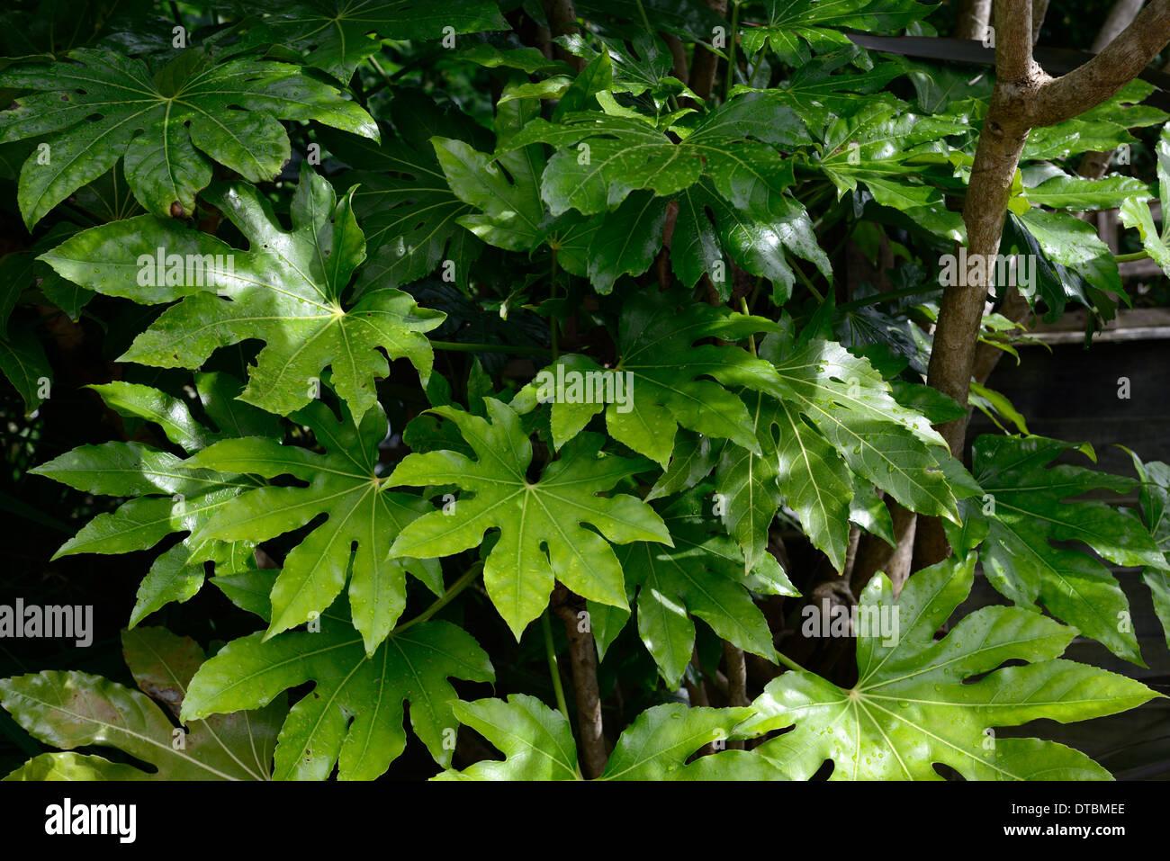fatsia japonica green foliage leaves plant portraits evergreen shrubs
