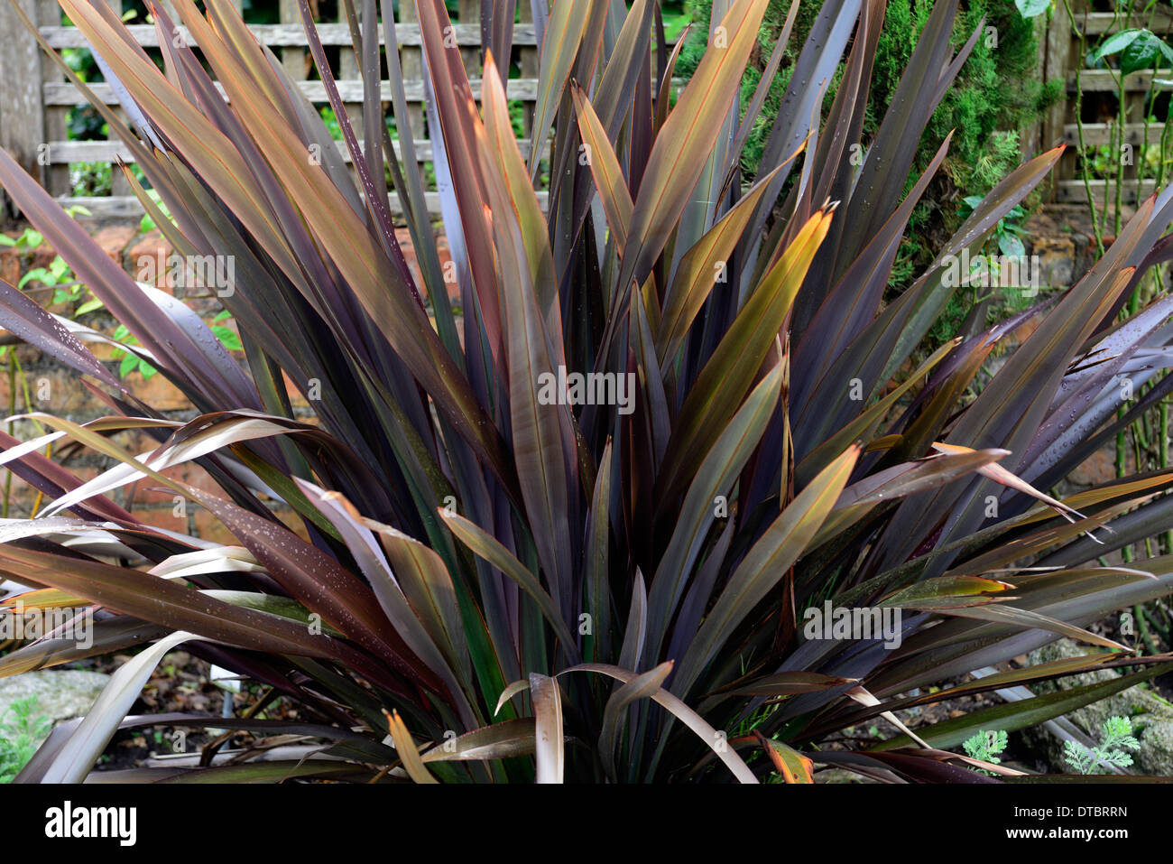 phormium black adder new zealand flax foliage leaves dark purple stock photo royalty free image. Black Bedroom Furniture Sets. Home Design Ideas