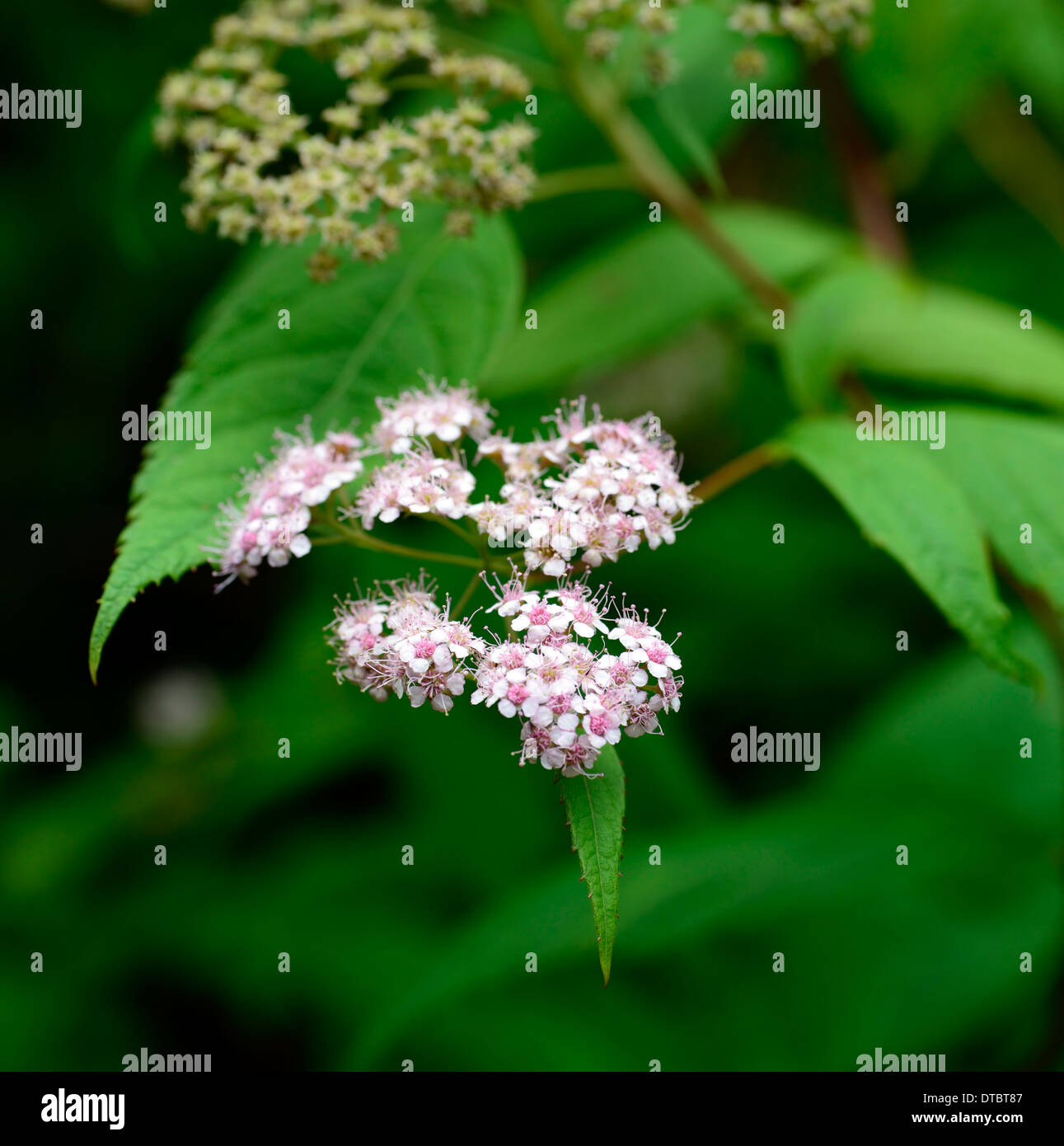 Spiraea japonica var fortunei plant portraits flowers flowering spiraea japonica var fortunei plant portraits flowers flowering shrubs green leaf leaves foliage small tiny pink dhlflorist Gallery