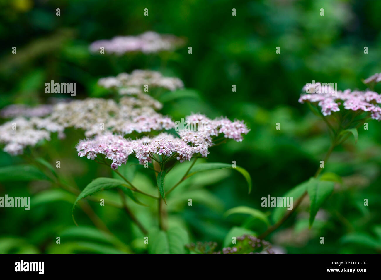 Spiraea japonica var fortunei plant portraits flowers flowering stock photo spiraea japonica var fortunei plant portraits flowers flowering shrubs green leaf leaves foliage small tiny pink flower flowers dhlflorist Gallery