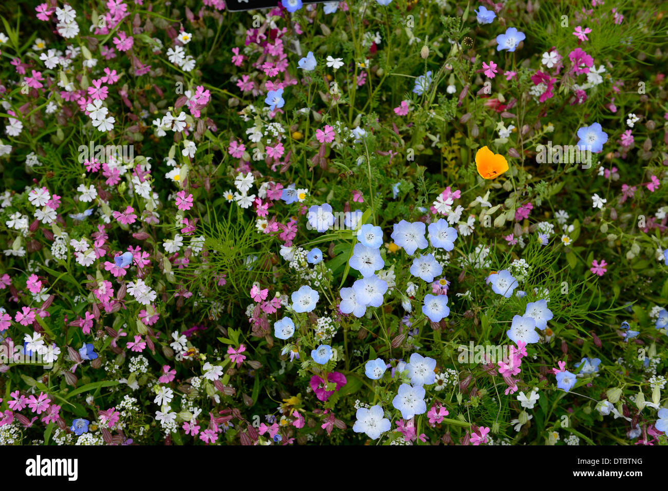 Stock Photo   Annual Wildflower Meadow Summer Wildflowers Meadows Wild  Gardens Flowers Naturalised Planting Combinations Mixed Annuals