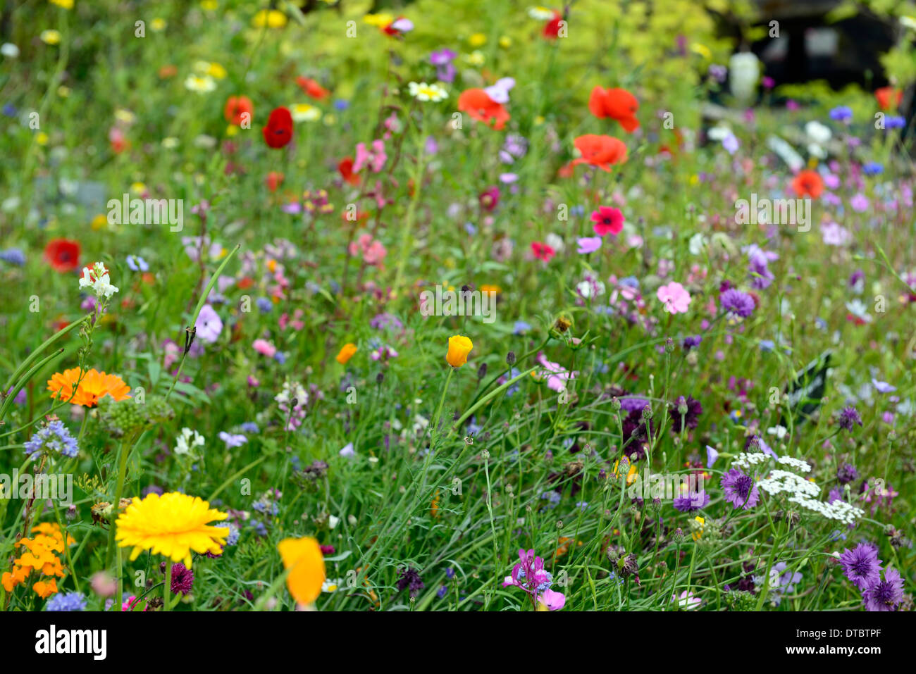 Captivating Stock Photo   Annual Wildflower Meadow Summer Wildflowers Meadows Wild  Gardens Flowers Naturalised Planting Combinations Mixed Annuals