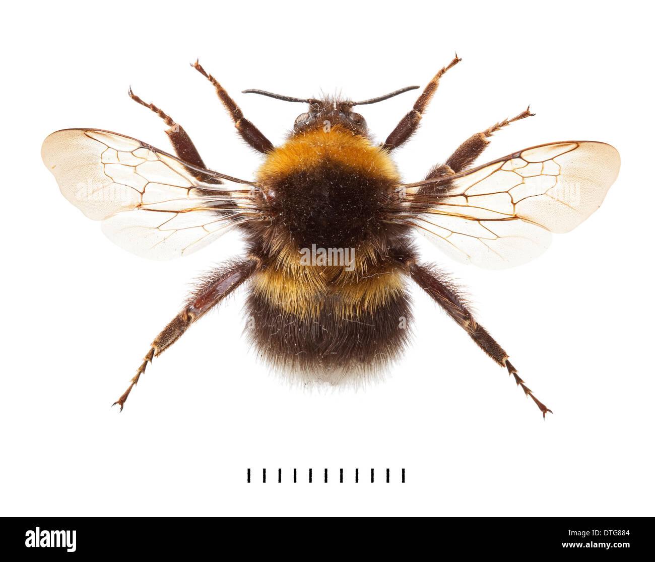 bombus hortorum garden bumblebee stock photo royalty free image