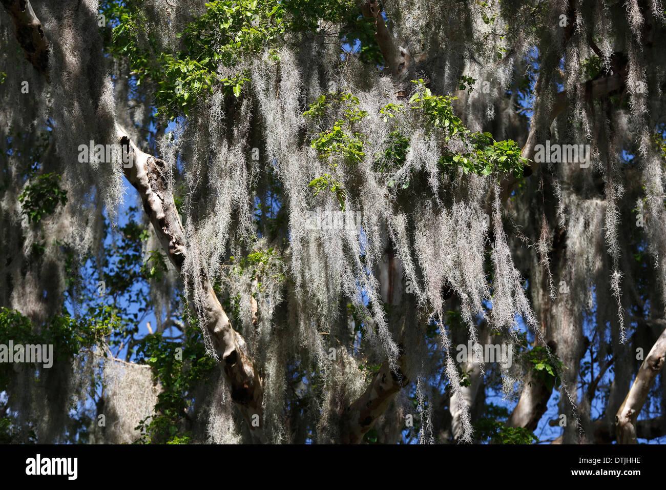 Spanish moss rain forest canopy San Ramon Nicaragua & Spanish moss rain forest canopy San Ramon Nicaragua Stock Photo ...