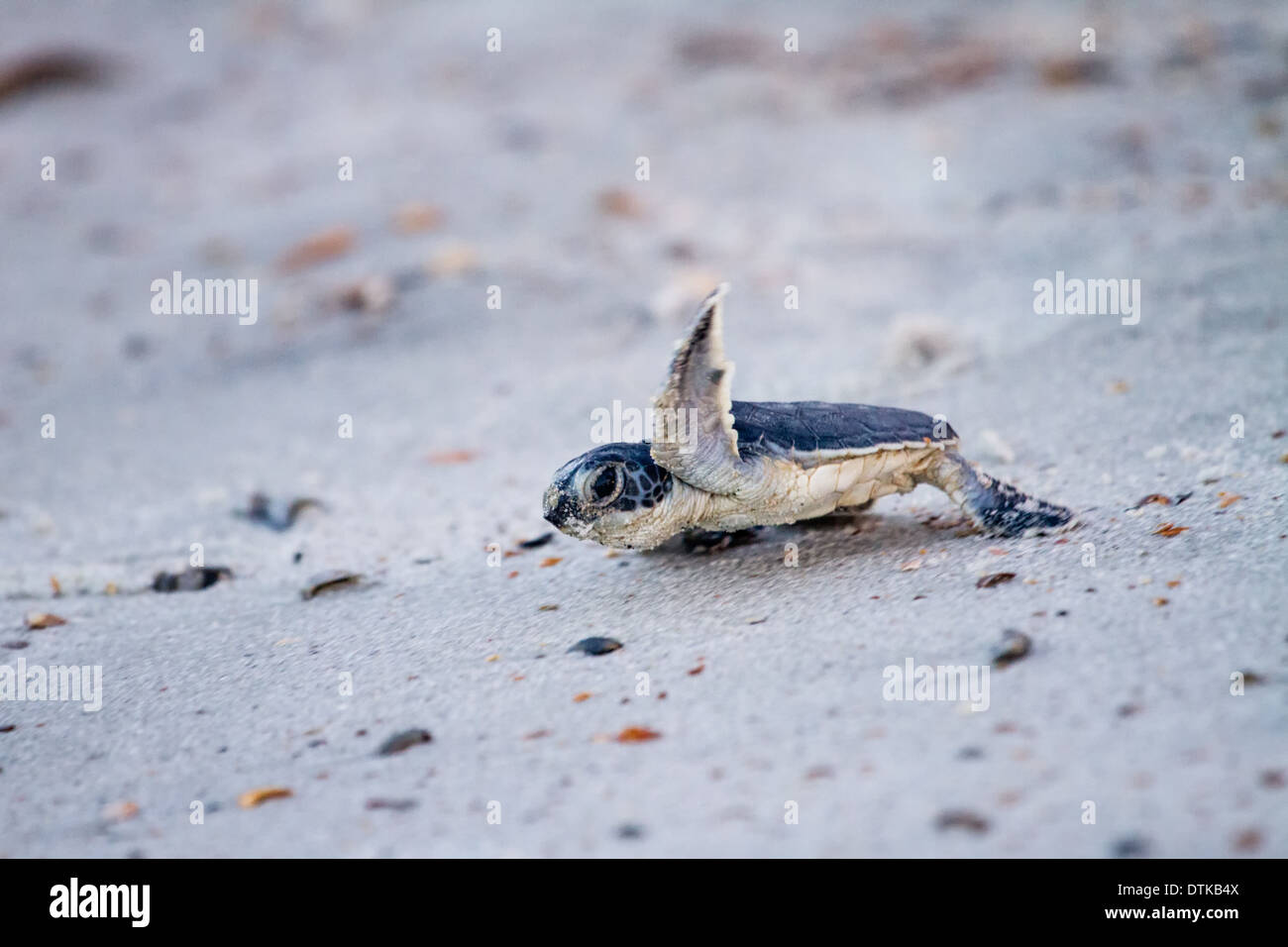 Baby Green Sea Turtle (Chelonia mydas) on its way to the ... - photo#48