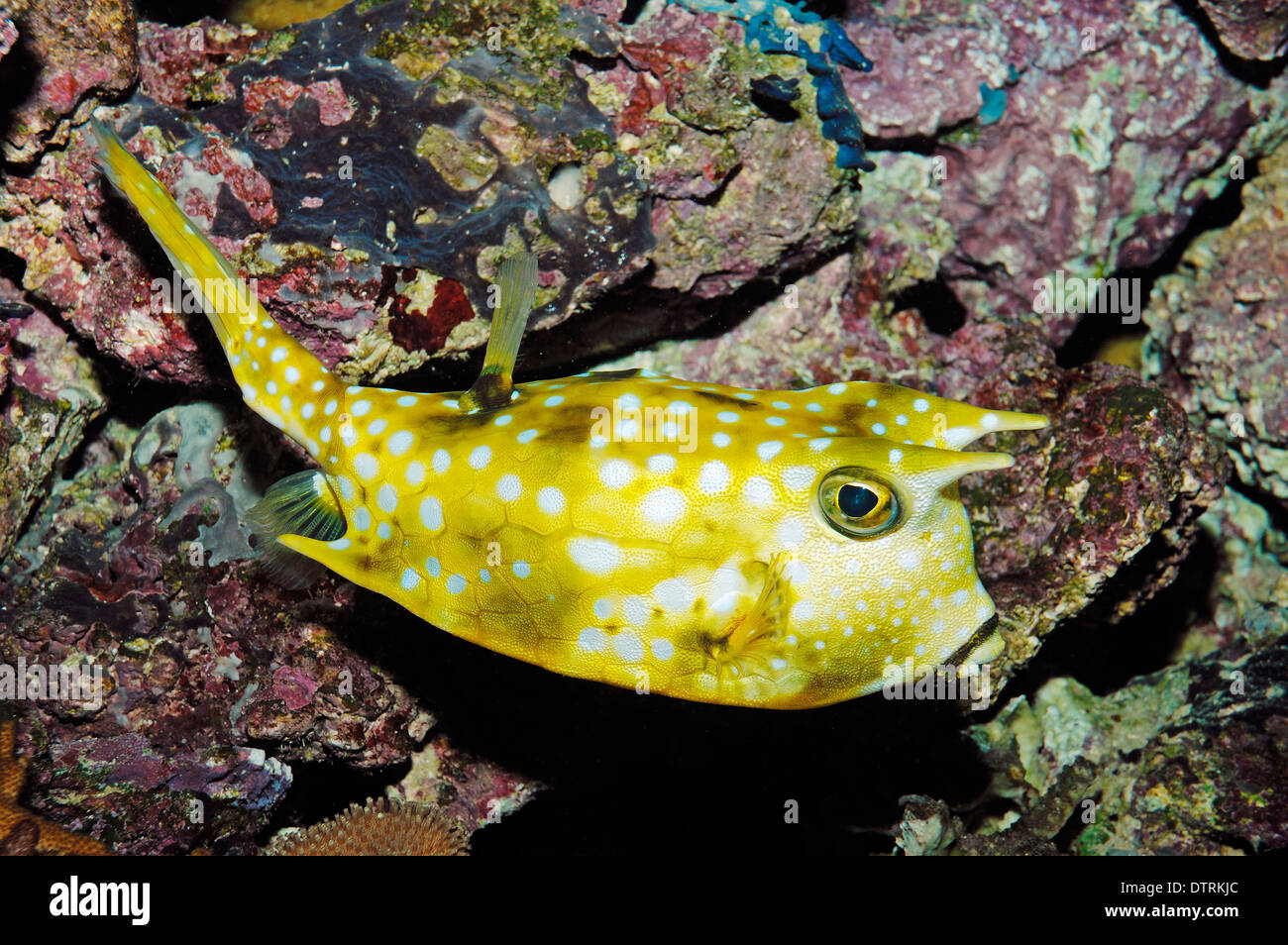 long horned cowfish lactoria cornuta longhorn cowfish stock image