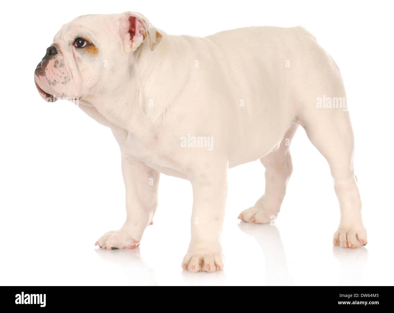 Cute white english bulldog puppies