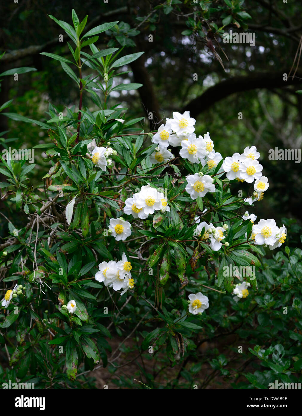 Carpenteria californica bush anemone white flowers for White flowering bush