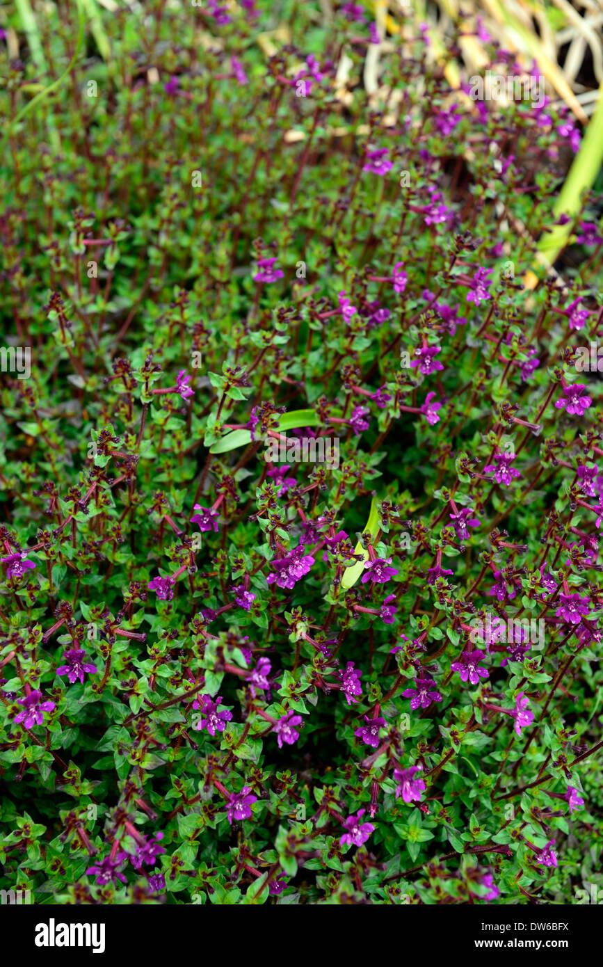 Stock Photo  Cuphea Aequipetala Purple Flowers Flower Flowering Evergreen  Perennial Groundcover Ground Cover Plant