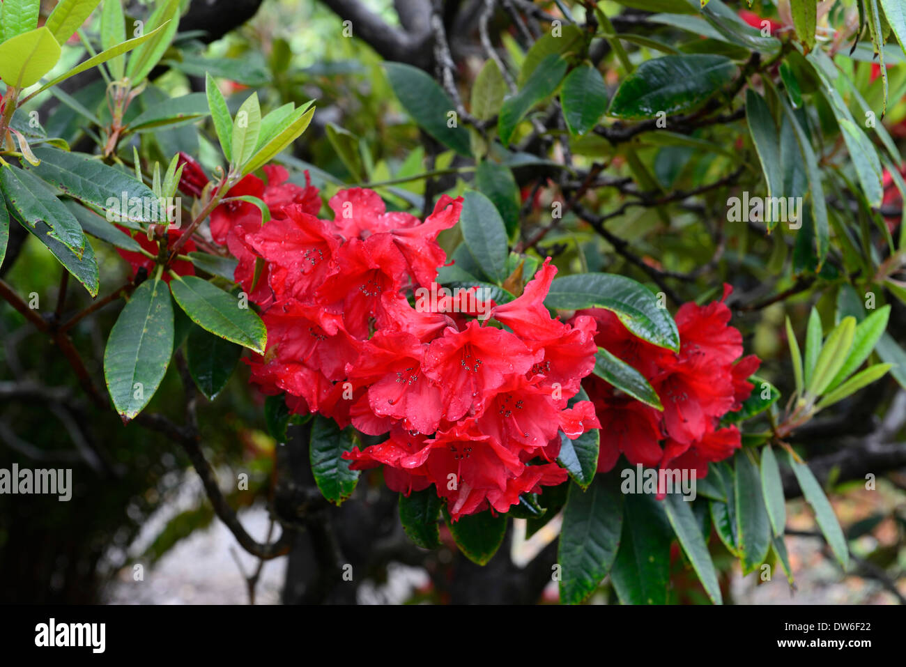 Rhododendron vulcan red flowers flower flowering evergreen for Tree with red flowers