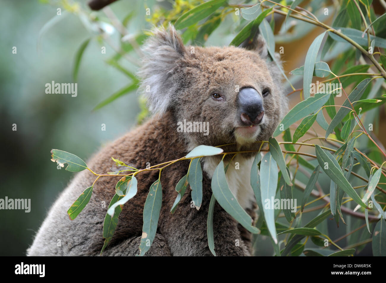 an australian koala in its natural habitat stock photo royalty