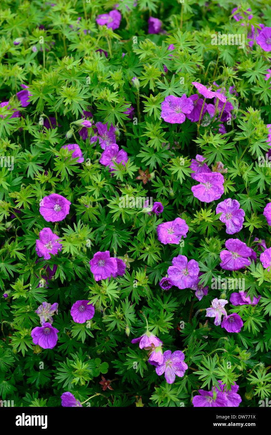 Geranium sanguineum pink flowers flowering geraniums for Perennial ground cover with pink flowers