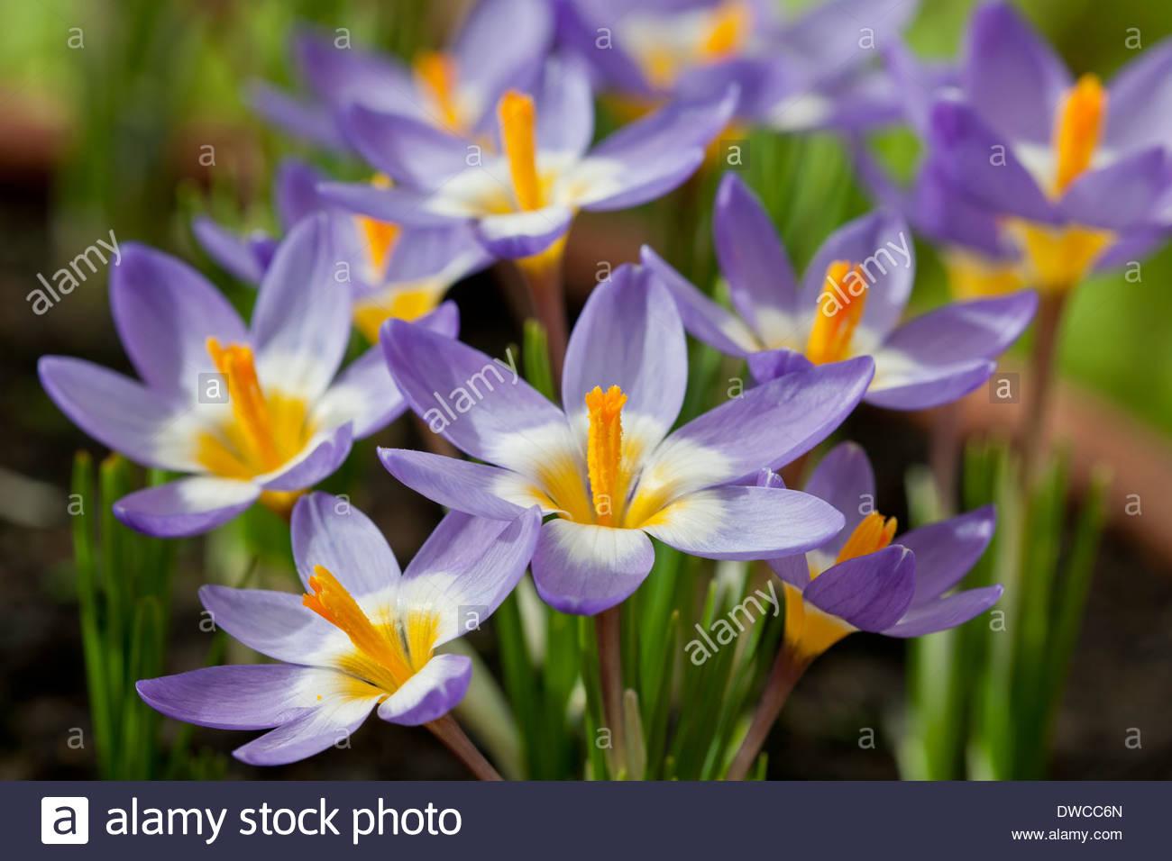 Sieber s Crocus Sieberi Tricolor Spring Flower Bulb Flowers Blooms Stock